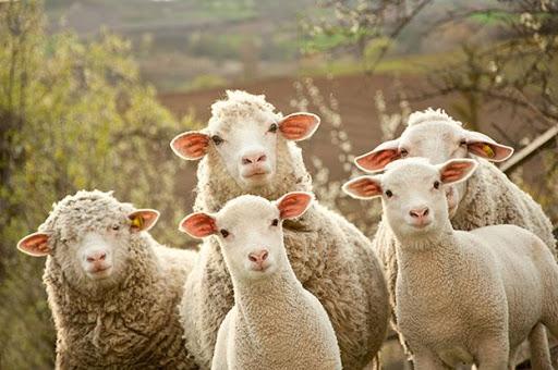 Animal Borregas granjas ganadería